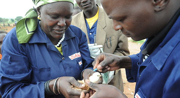 vaccination of a chicken
