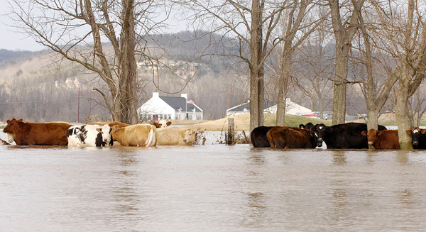 Cattle in a flooded field
