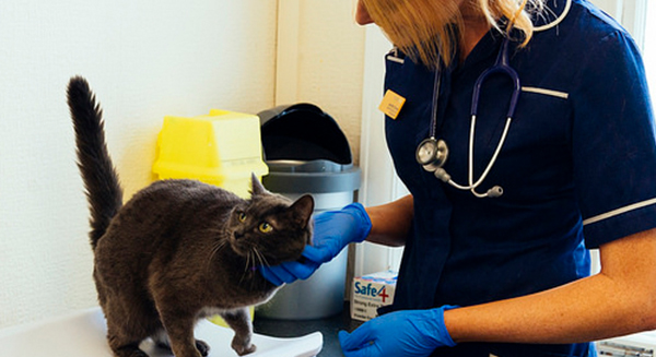 Veterinary nurses weighing cat and compassion tickle