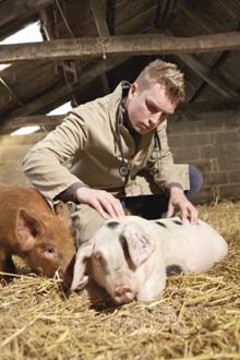 Man examining a pig